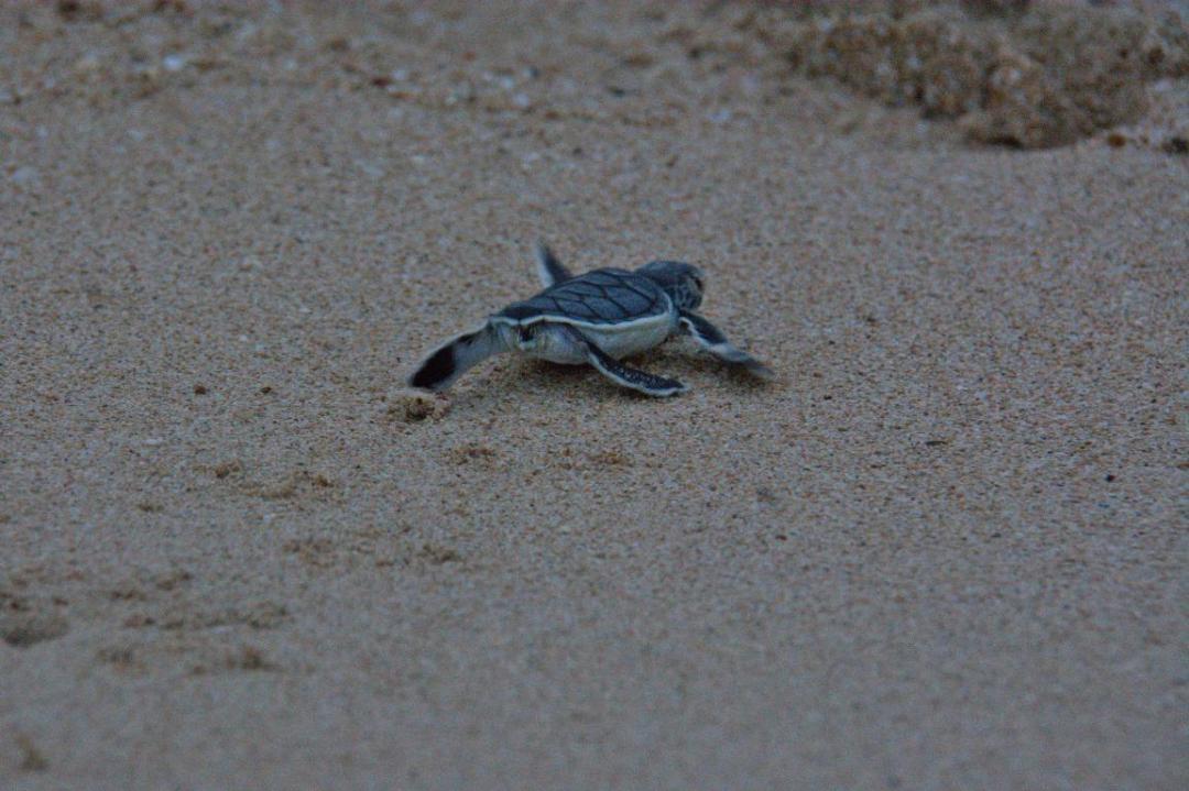 bébé tortue dans sa course vers la survie