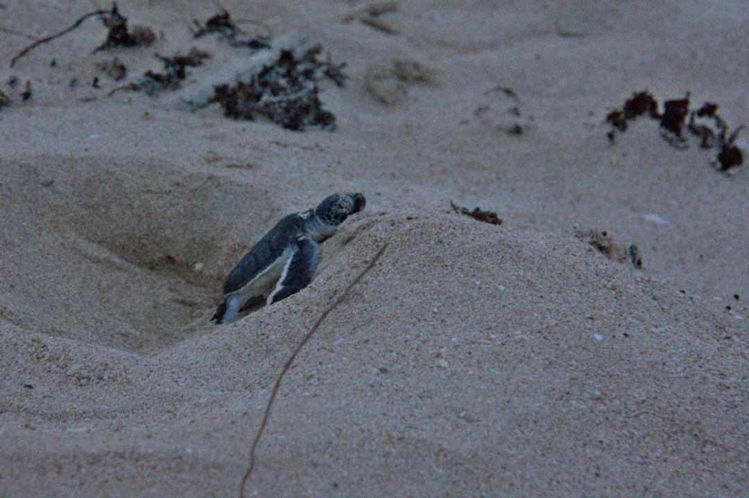 bébé tortue dans le sable en Australie