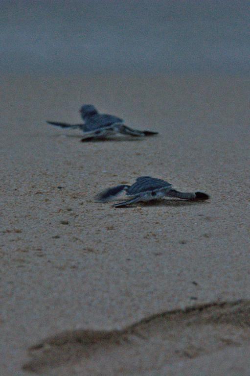 bébés tortues qui courent vers la mer