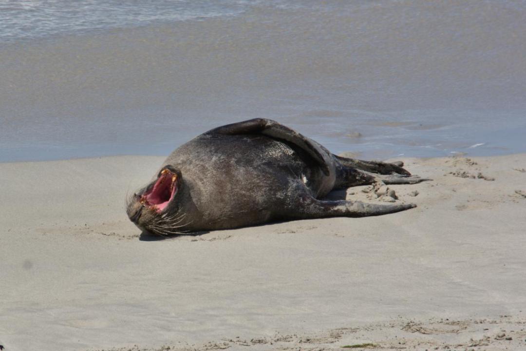 un lion de mer qui bâille
