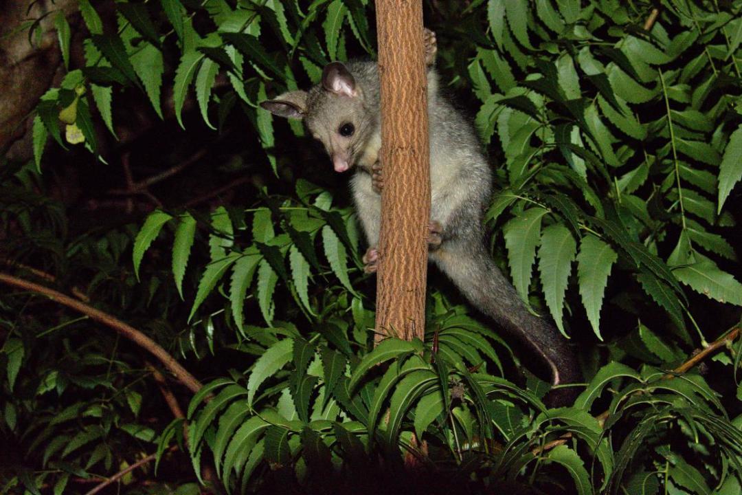 autres animaux sauvages d'Australie, les possums