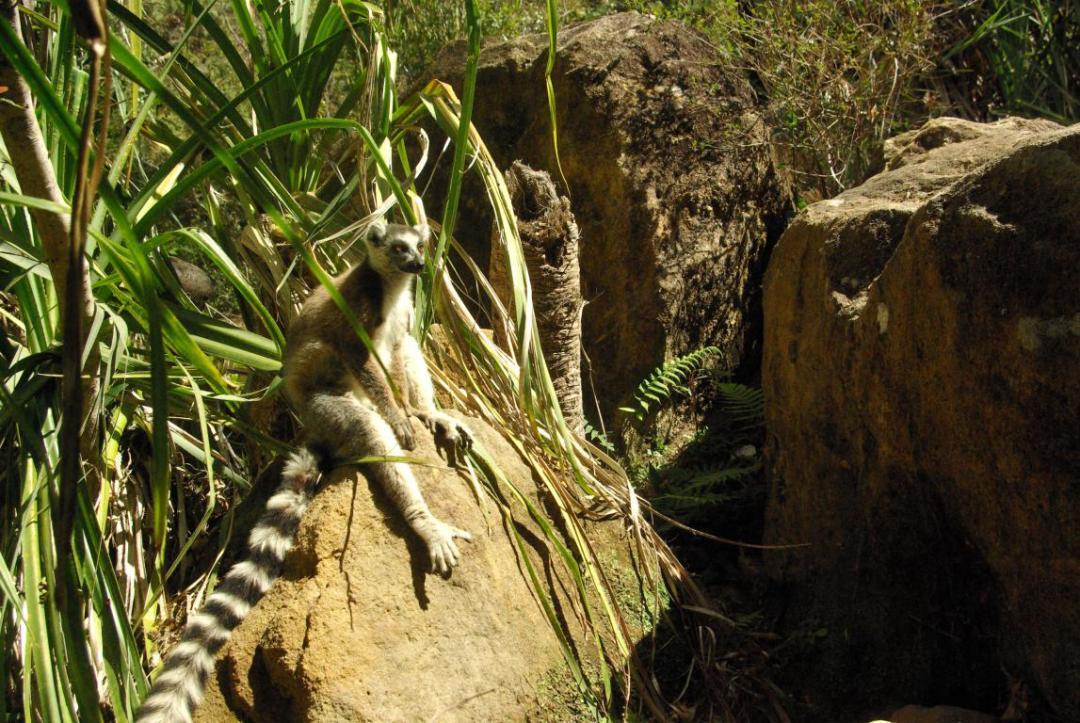 lémur catta île de madagascar
