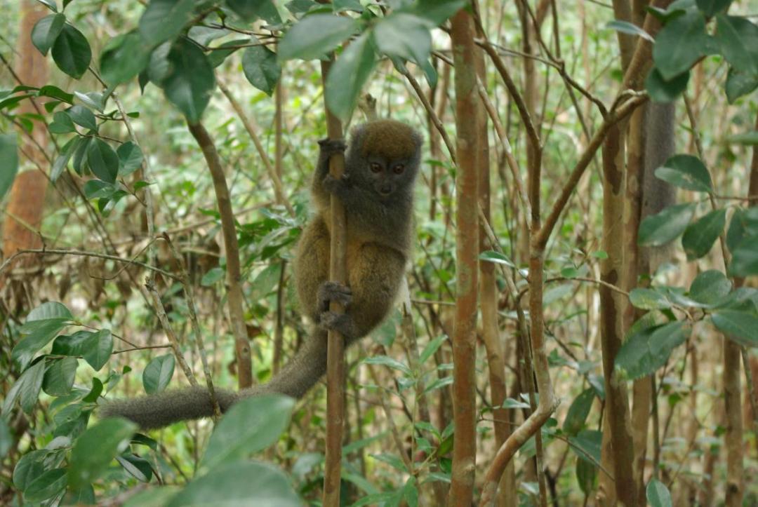 lémurien espèce endémique de l'île de Madagascar