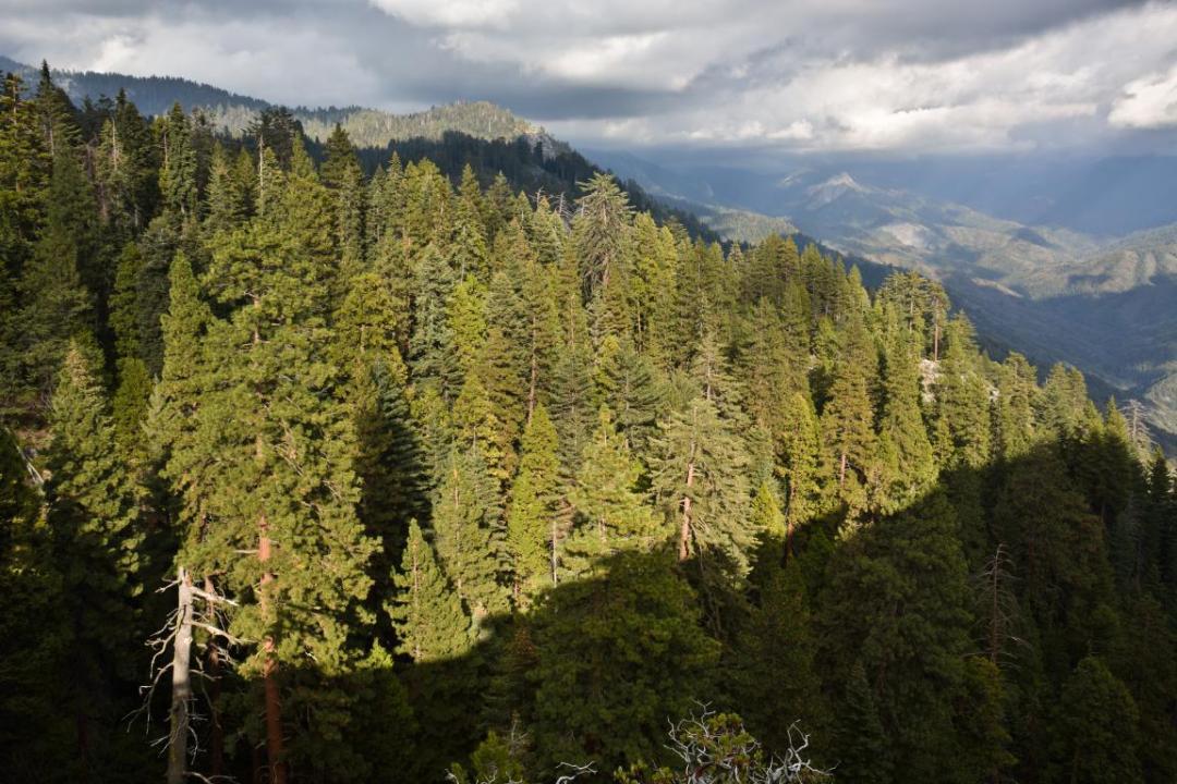 sequoias ouest américain