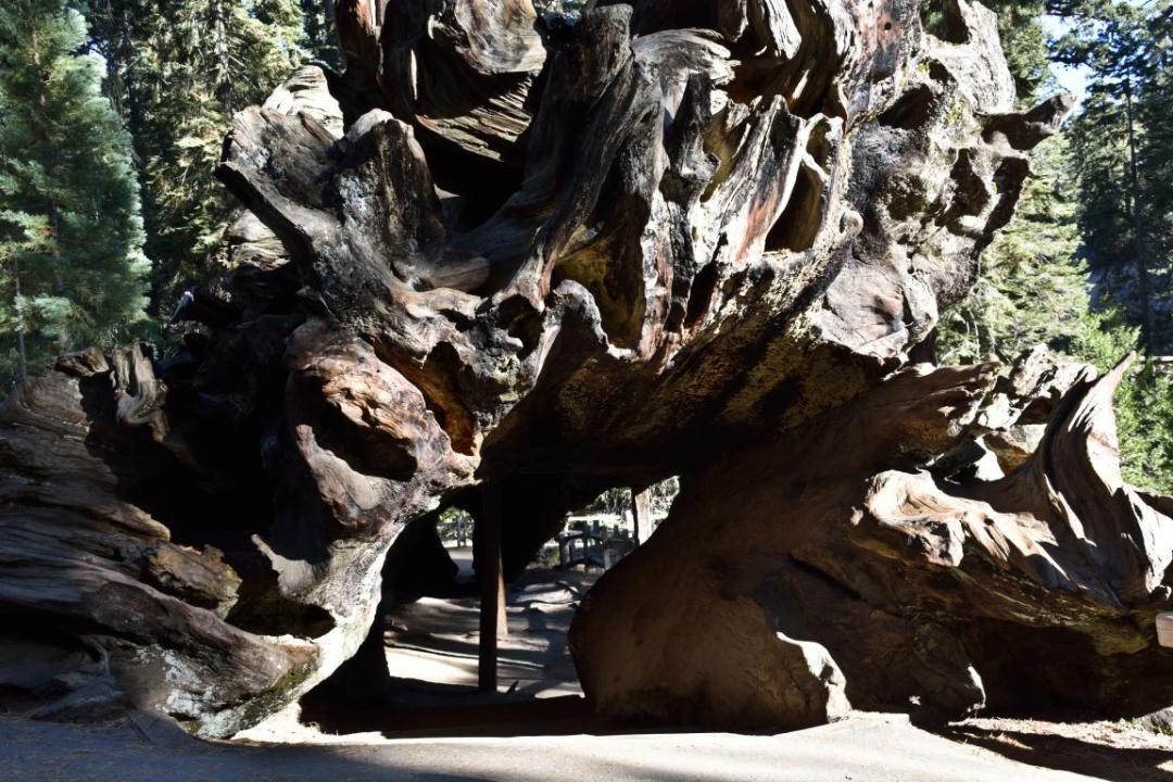 séquoia creux ouest américain