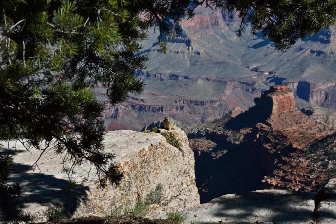 écureuil devant le grand canyon ouest amérique