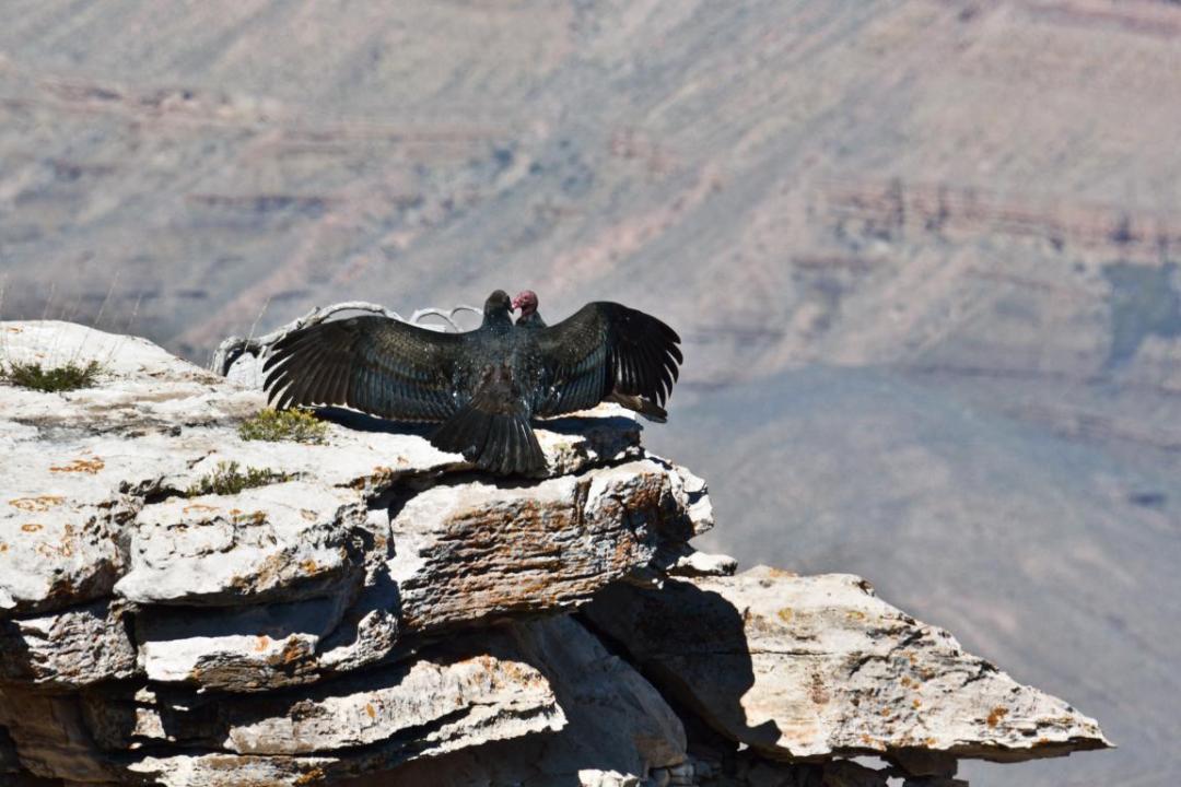vautours grand canyon ouest américain
