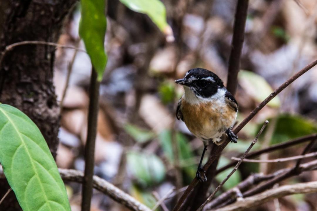 tek-tek oiseau qui accompagne les randonneurs