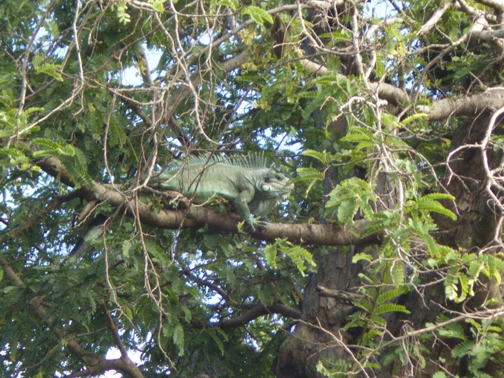 iguane dans les Saintes aux caraibes