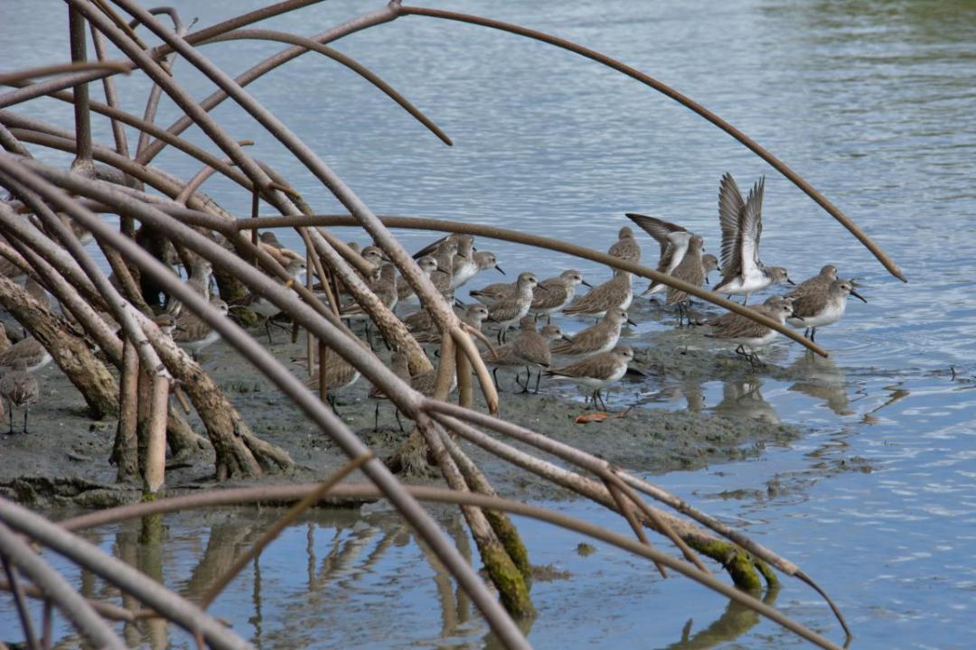 oiseaux dans la mangrove à l'étang des Salines en Martinique