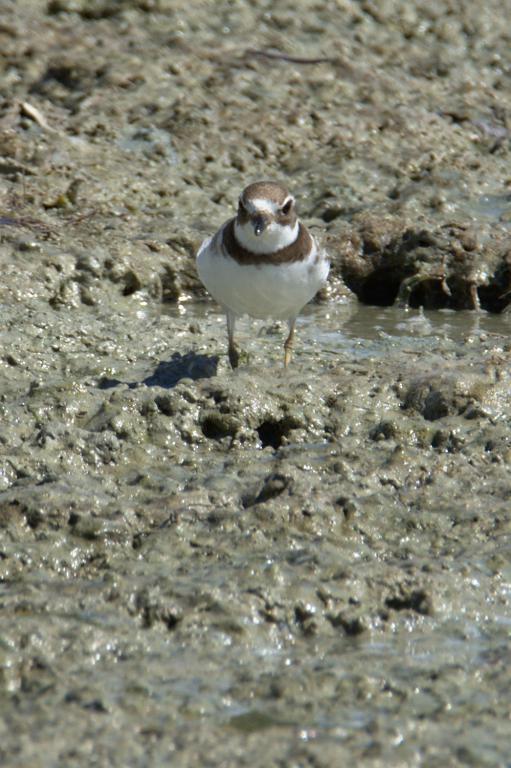 petit oiseau à l'étang des Salines en Martinique dans les Caraibes