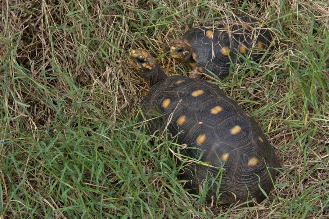 tortues terrestres rencontrées sur un sentier dans les caraibes