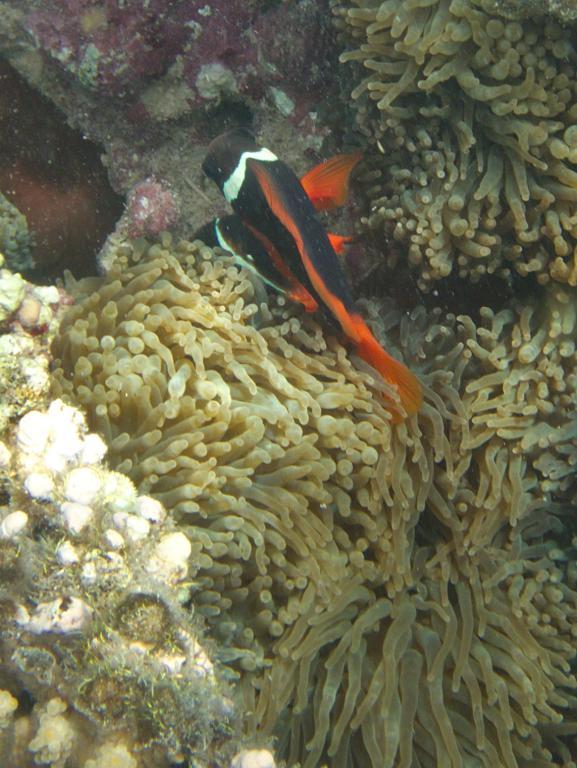 poissons clown à ningaloo reef
