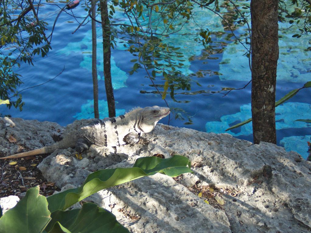 iguane a cenote azul peninsule yucatan