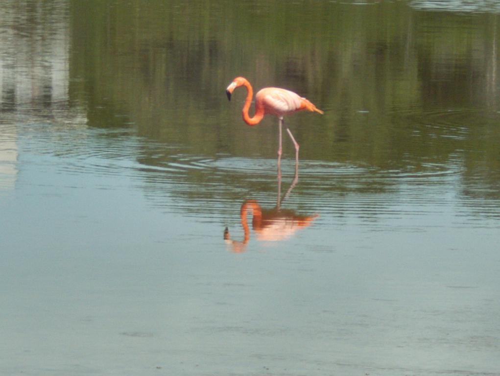un flamant rose dans les étangs de celestun yucatan