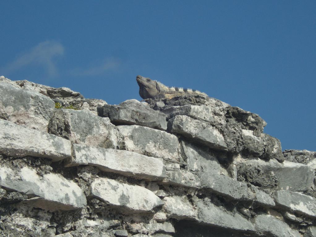 iguanes tulum peninsule yucatan