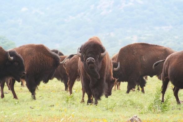 buffalo-1436182_960_720.jpg