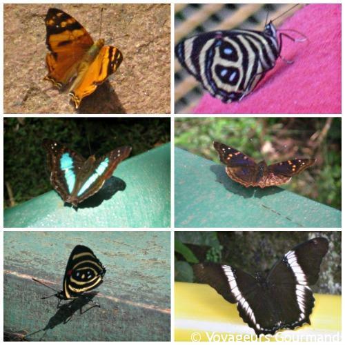 Papillons Chutes Iguaçu