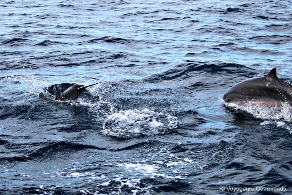 dauphins-en-martinique-10