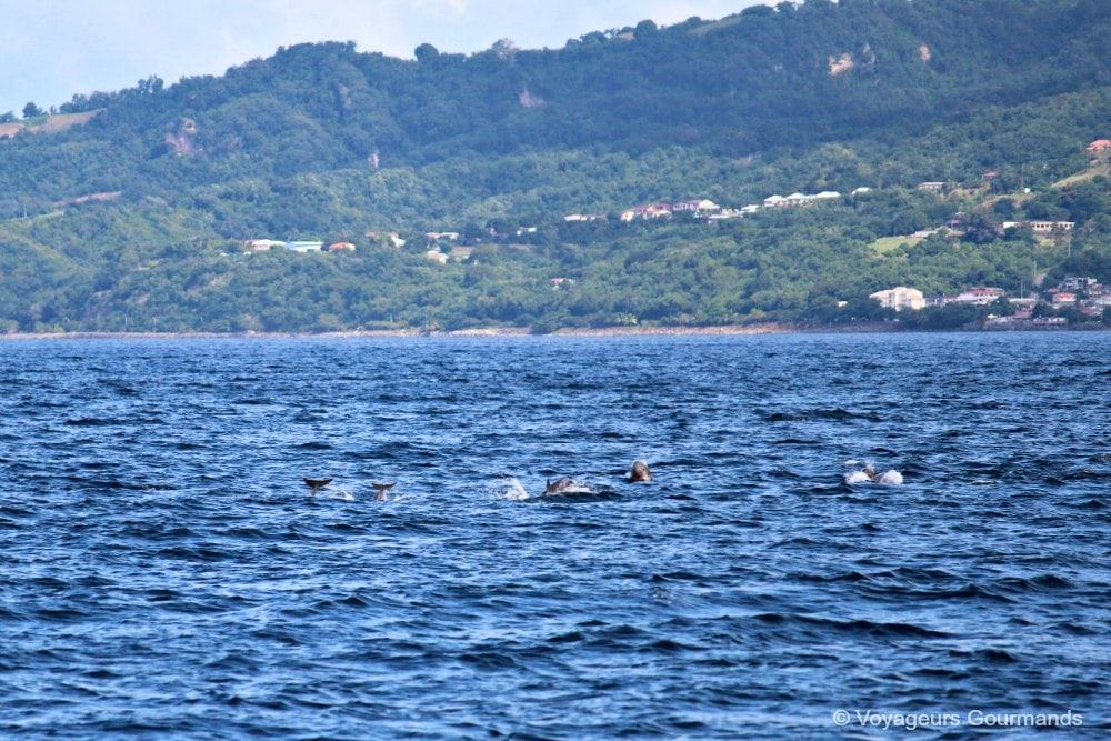 dauphins-en-martinique-5