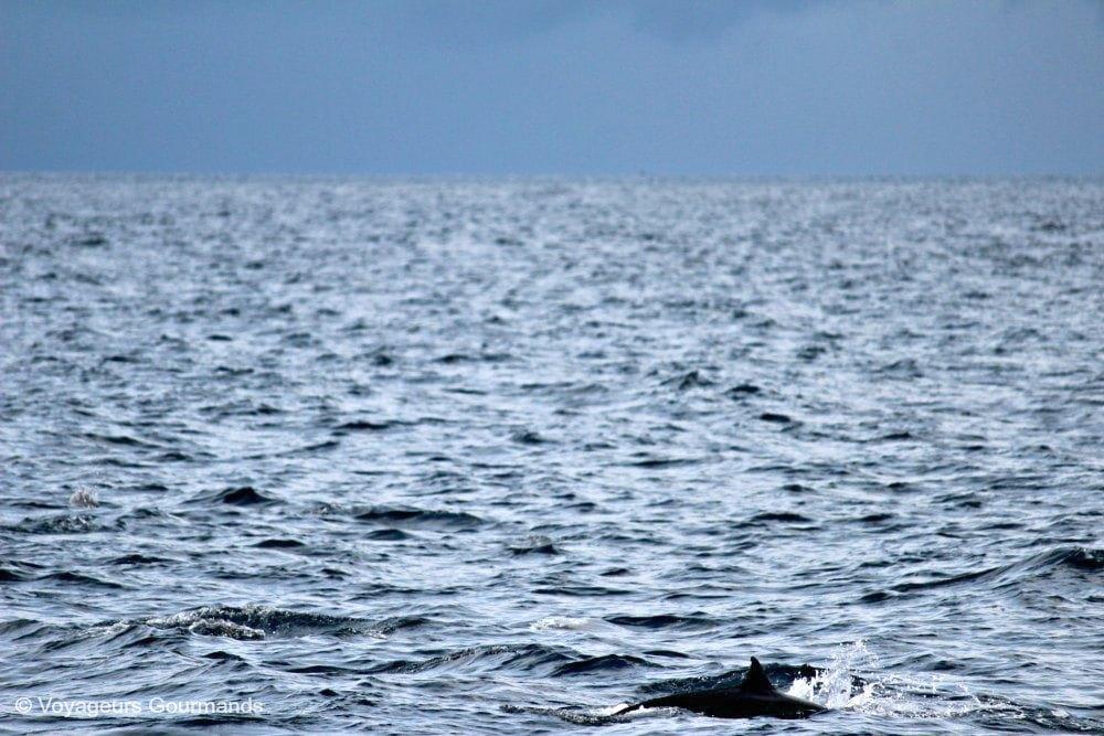 dauphins-en-martinique-7