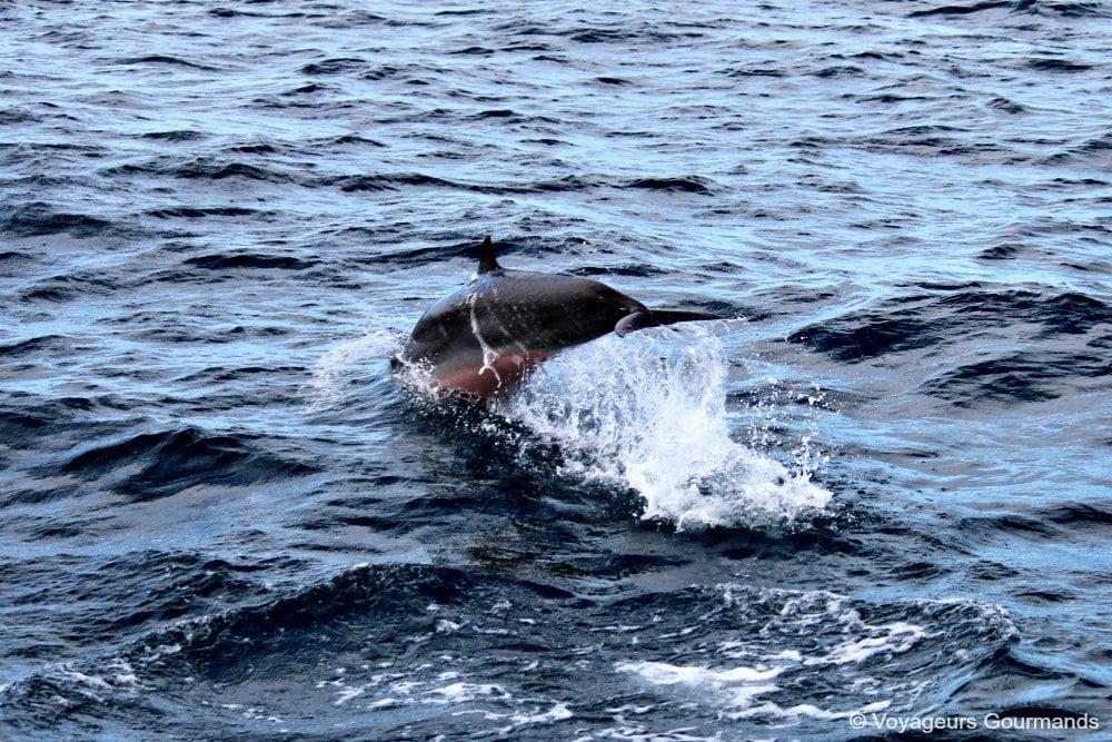 dauphins-en-martinique-9