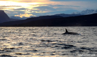 orques et baleines en norvege (13)