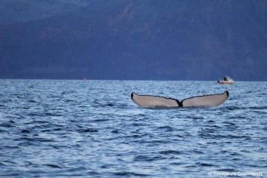 orques et baleines en norvege (30)