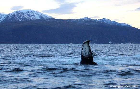 orques et baleines en norvege (33)