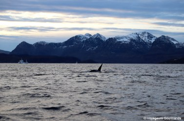 orques et baleines en norvege (4)