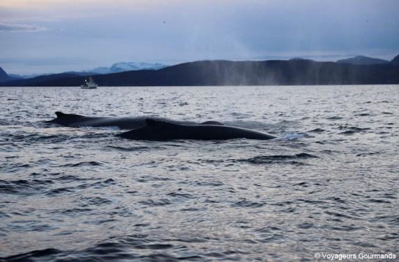 orques et baleines en norvege (8)