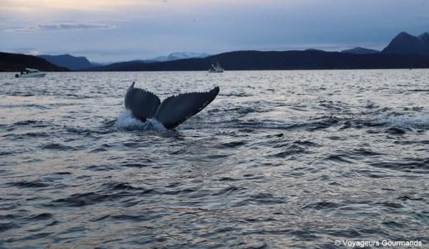 orques et baleines en norvege (9)