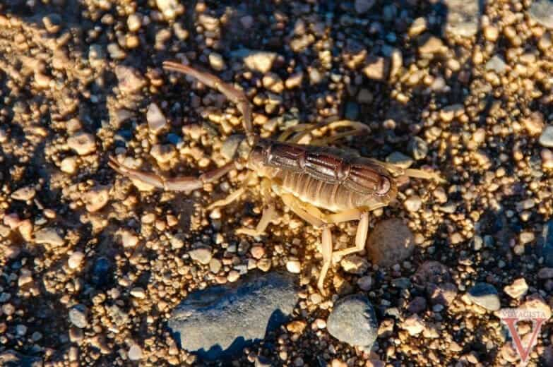 namibie scorpion