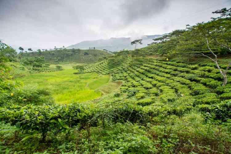 Tule vietnam the rizières