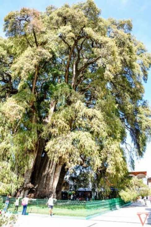 l'arbre de Tule