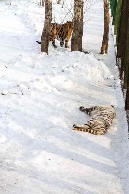 tigre blanc harbin chine