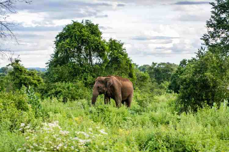 Les éléphants de Udawalawe