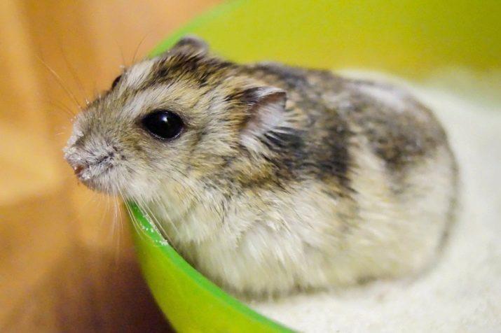nu se întâlnesc cu hamsteri)
