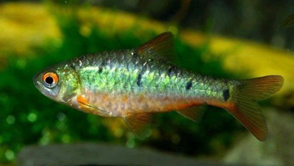 Барбус зеленый (14 фото): описание и содержание ...