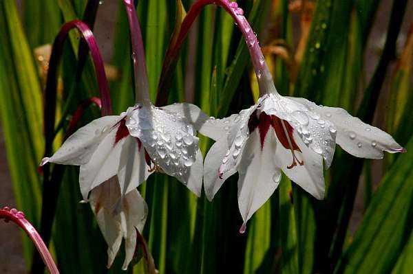 Луковичные Садовые Цветы Фото С Названиями