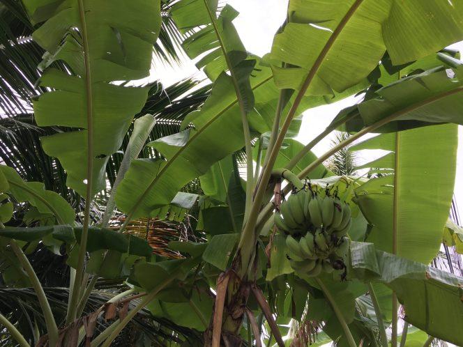 Бананы у дома