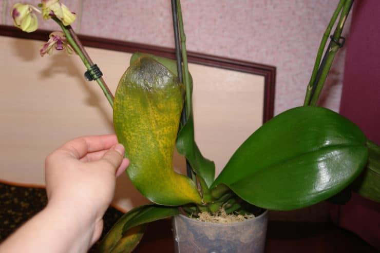 Мучнистый червец на орхидеях – как избавиться от вредителя, эффективное лечение народными средствами и химическим препаратами || Мучнистый червец на орхидеях – как избавиться от вредителя, эффективное лечение народными средствами и химическим препаратами
