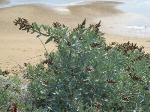 Coastal Saltbush plant
