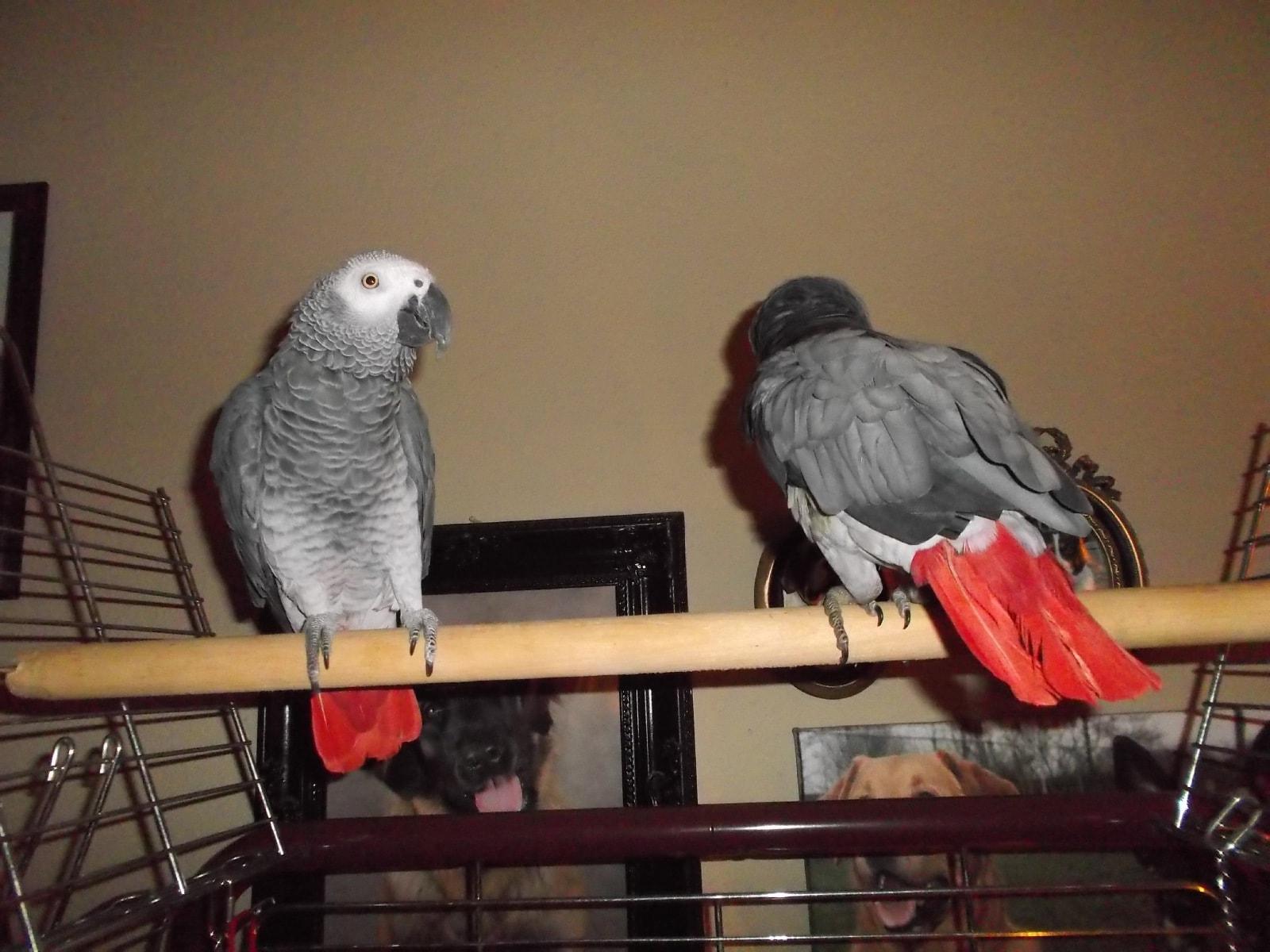 Kees, grijze roodstaart