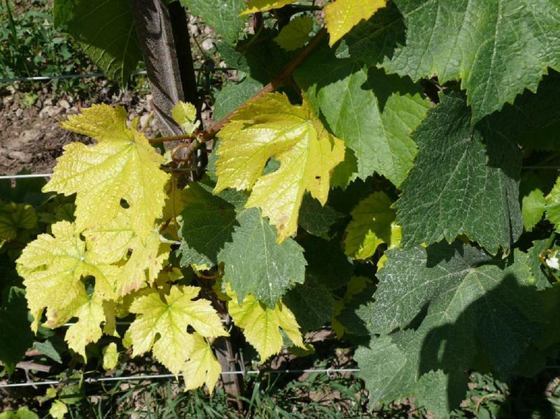 Симптомы недостатка железа в питании винограда