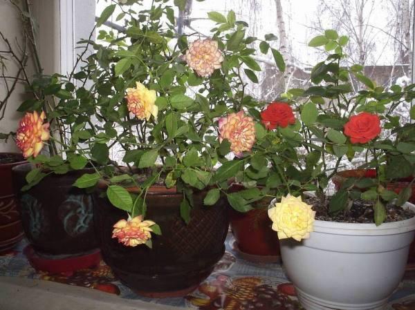 Роза комнатная уход в домашних условиях сорта