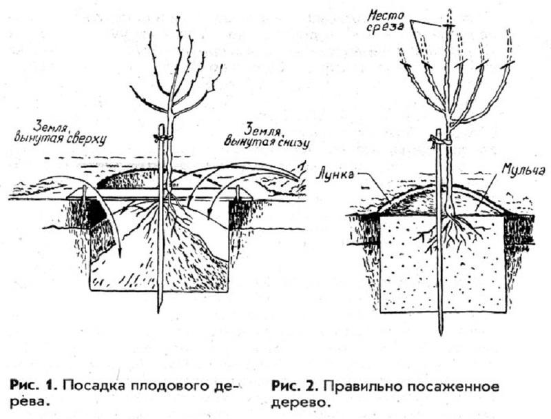 Схема посадочной ямы для яблони