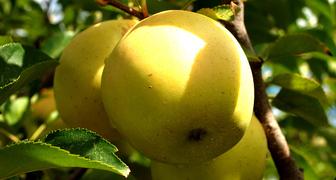 Яблоня Гала: описание сорта и его видов, их достоинства и ...