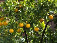 navel-orange-fruit-3-1