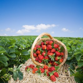 Strawberries in the basket on the field